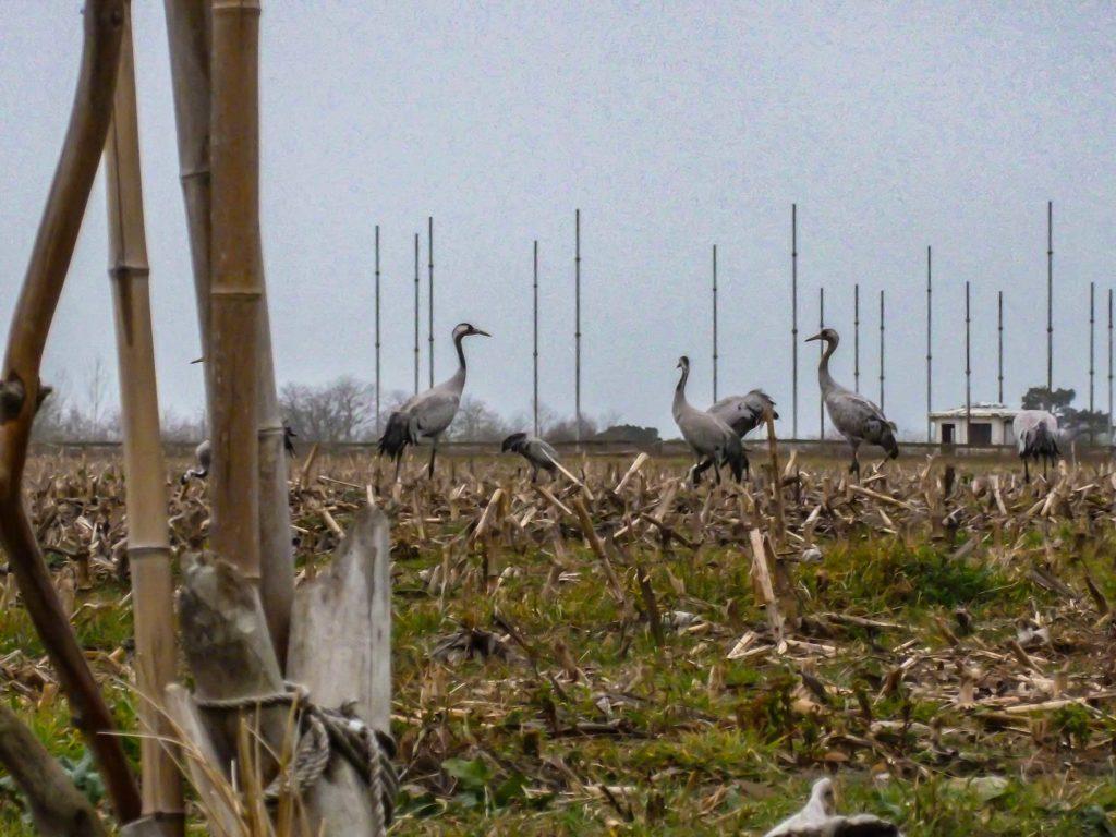 Grues dans le champ de maïs en face de la location Océane à Orx