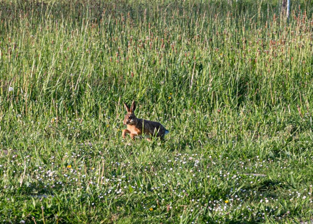 lièvre sur la prairie du Domaine Berraute